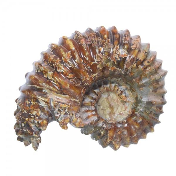 Ammonit Fossil Versteinerung