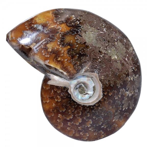 Ammonit Fossil Versteinerung poliert N°339